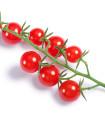Rajčiak ribezľový Sweet Pea - červená farba - Solanum pimpinellifolium - predaj semien divokých rajčiat - 6 ks