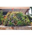 Aloe stromovitá - Aloe arborescens - semená - 6 ks
