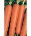 Mrkva pravá- karotka na rýchlenie- semiačká mrkve- 2000 ks