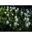 Iberka horká - Iberis amara - predaj semien letničiek - 15 Ks