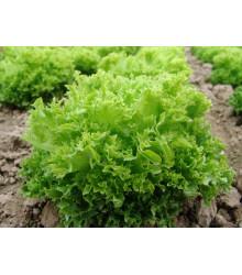 Šalát listový Rekord - Lactuca sativa - semená - 0,3 g