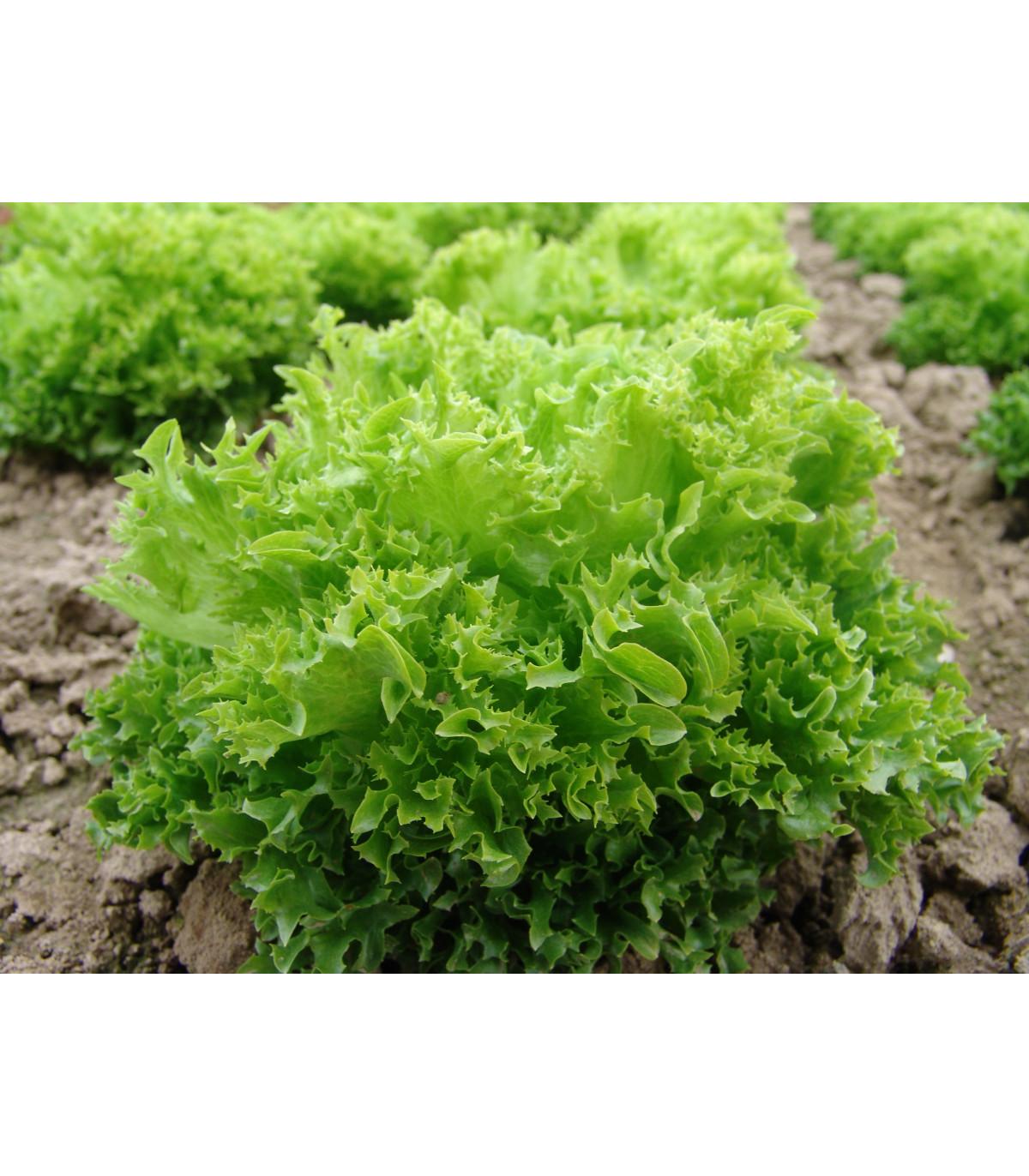 Šalát listový Rekord - Lactusa sativa - semená - 0,3 g