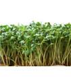 Žerucha zahradná- semiačká žeruchy- 1400 ks
