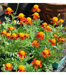Aksamietnica rozložitá Orange flame - Tagetes patula nana - semená - 100 ks