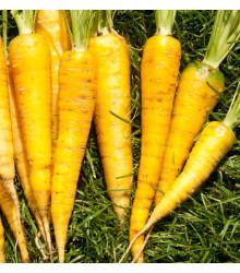 Mrkva Yellowstone - Daucus carota - semená mrkvy - 0,5 g