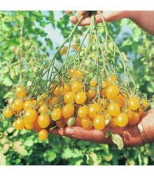 Rajčiak kolíkový Ildi - Lycopersicon Esculentum - semená previsnutých rajčín - 10 Ks