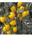 Previsnutý rajčiak Tom Yellow - Lycopersicon Esculentum - semená previsnutých rajčín - 8 Ks