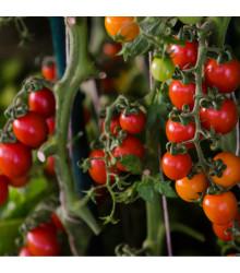 Paradajka previsnutá Tom Red - Lycopersicon Esculentum - rajčiak - semená - 8 ks