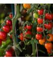 Previsnutý rajčiak Tom Red - Lycopersicon Esculentum - semená previsnutých rajčín - 8 Ks