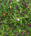 Chilli Numex Twilight - Capsicum Annuum - semená - 6 ks