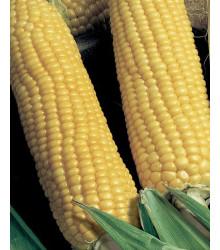 Kukurica cukrová Tauris F1 - Zea Mays - semená kukurice - 6 g