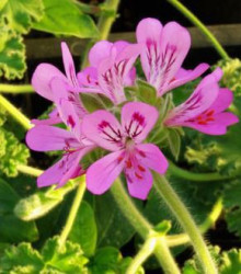 Muškát vonný - Attar of Roses - predaj semien muškátov - Pelargonium capitatum - 4 ks