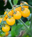 Rajčiak Ildi - kolíkový rajčiak - Lycopersicon lycopersicum L. - predaj semien rajčín - 0,1 g
