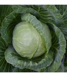Kapusta hlávková biela Dita - Brassica oleracea - semená - 0,8 g