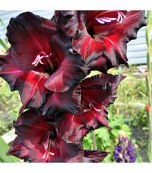 Mečík - Gladiolus Black Star - gladioly - cibuľoviny - 3 ks