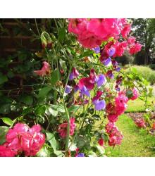 Hrachor voňavý ružový - Lathyrus odoratus - semená - 20 ks