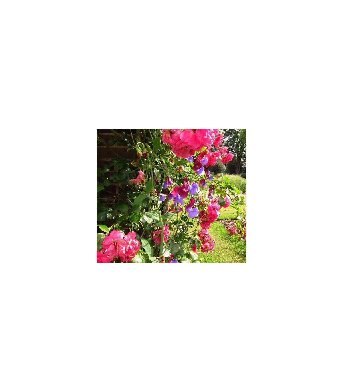 Hrachor voňavý- Lathyrus odoratus- Cupido- semiačká hrachoru- 20 ks