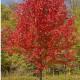 Javor červený - Acer rubrum- semená javora - 5 ks