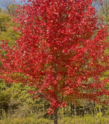 Javor červený - Acer rubrum - bonsaj - semená - 5 ks