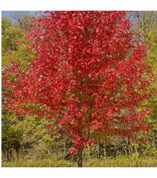 Javor červený - Acer rubrum - bonsaj - semená javora - 5 ks