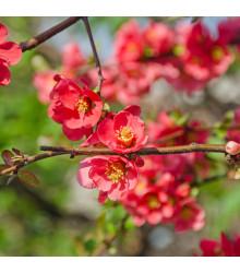 Dulovec - Chaenomeles Japonica - bonsaj - semená dulovca - 5 ks
