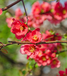 More about Dulovec - Chaenomeles Japonica - semená - 5 ks