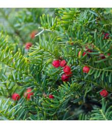 Tis japonský - Taxus Cuspidata - semená tisa - bonsaj - 5 ks