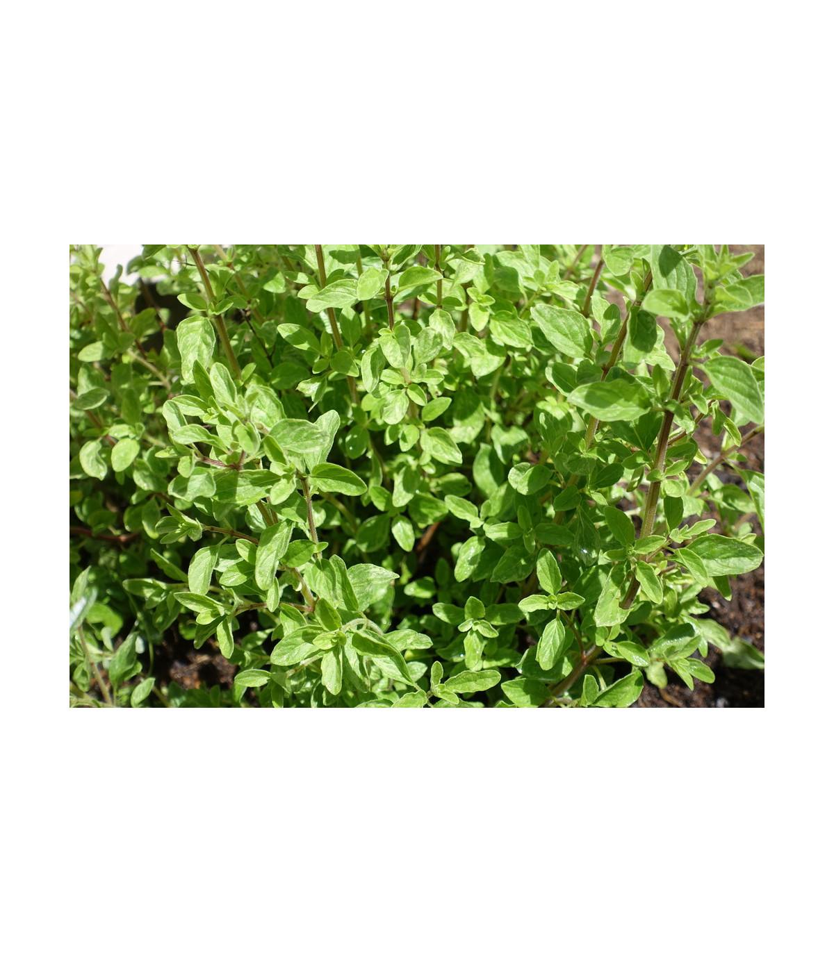 Majorán divý - Pot marjoram - semena majoránu - semiačka - 0,1 gr