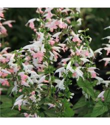 Šalvia šarlátová Hummingbird - Salvia coccinea - semená - 10 ks