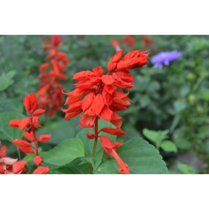 Šalvia žiarivá Johannisfeuer - Salvia splendens - semená - 15 ks