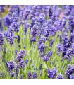BIO levanduľa lekárska - Lavandula - predaj bio semien byliniek - 20 Ks