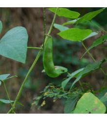 BIO Hrach siaty Karina- Pisum sativum - kde kúpiť Bio semená hrášku - 75 ks