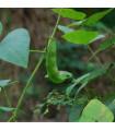 BIO Hrach siaty Karina- Pisum sativum - kde kúpiť Bio semená hrášku - 15 gr
