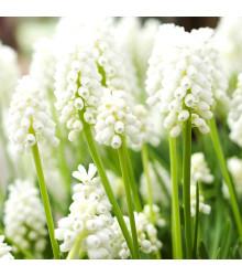 Modrica White magic - Muscari aucheri - cibuľoviny - 4 ks
