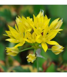 Okrasný cesnak žltý Moly - Allium Moly - cibuľoviny - 3 ks