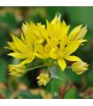 Cesnak žltý Moly - Allium Moly - cibuľky - 3 Ks