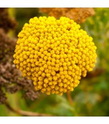 Rebríček túžobníkový Cloth of Gold - Achillea filipendula - semená - 0,1 g