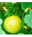 Tekvica Gele Reuzen - Cucurbita maxima - predaj semien - 5 ks