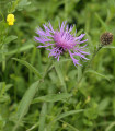 Nevädza Lesser Knapweed - Centaurea nigra - semená - 120 ks