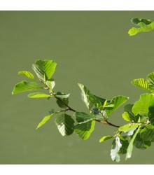 Jelša lepkavá - Alnus glutinosa - semená - 8 ks