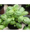Bazalka pravá balkónová- semená bazalky- 350 ks