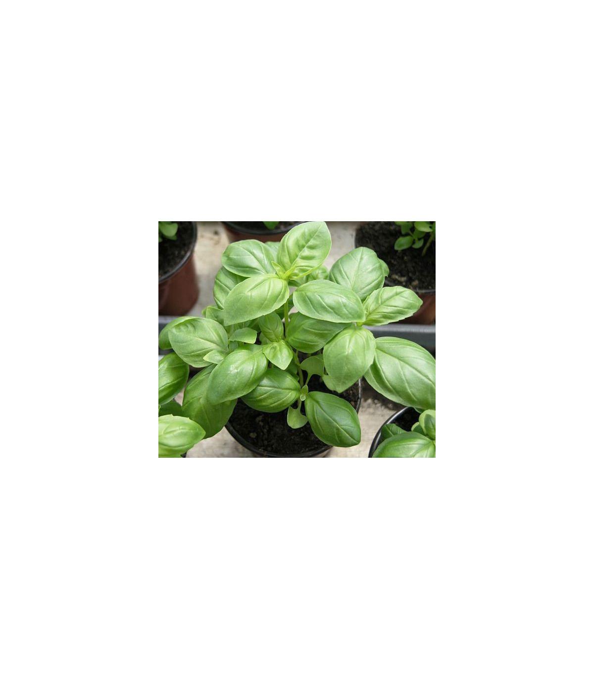 Bazalka pravá balkónová - Ocimum basilicum - semená bazalky - 0,3 g