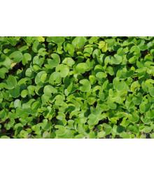 Strieborný dážď - Dichondra repens - semená dichondry - 8 ks