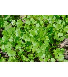 Koriander siaty Cadiz - Coriandrum sativum - semená - 100 ks