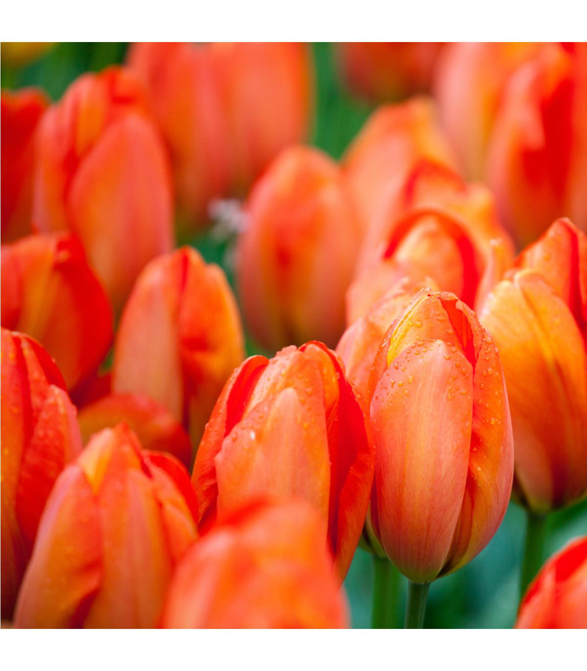 Tulipán Orange Brilliant - predaj cibuľovín - holandské tulipány - 3 ks