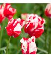 Tulipán Estella Rijnveld - predaj cibuľovín - holandské tulipány - 3 ks
