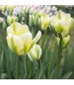 Tulipán Exotic emperor - predaj cibuľovín - holandské tulipány - 3 ks
