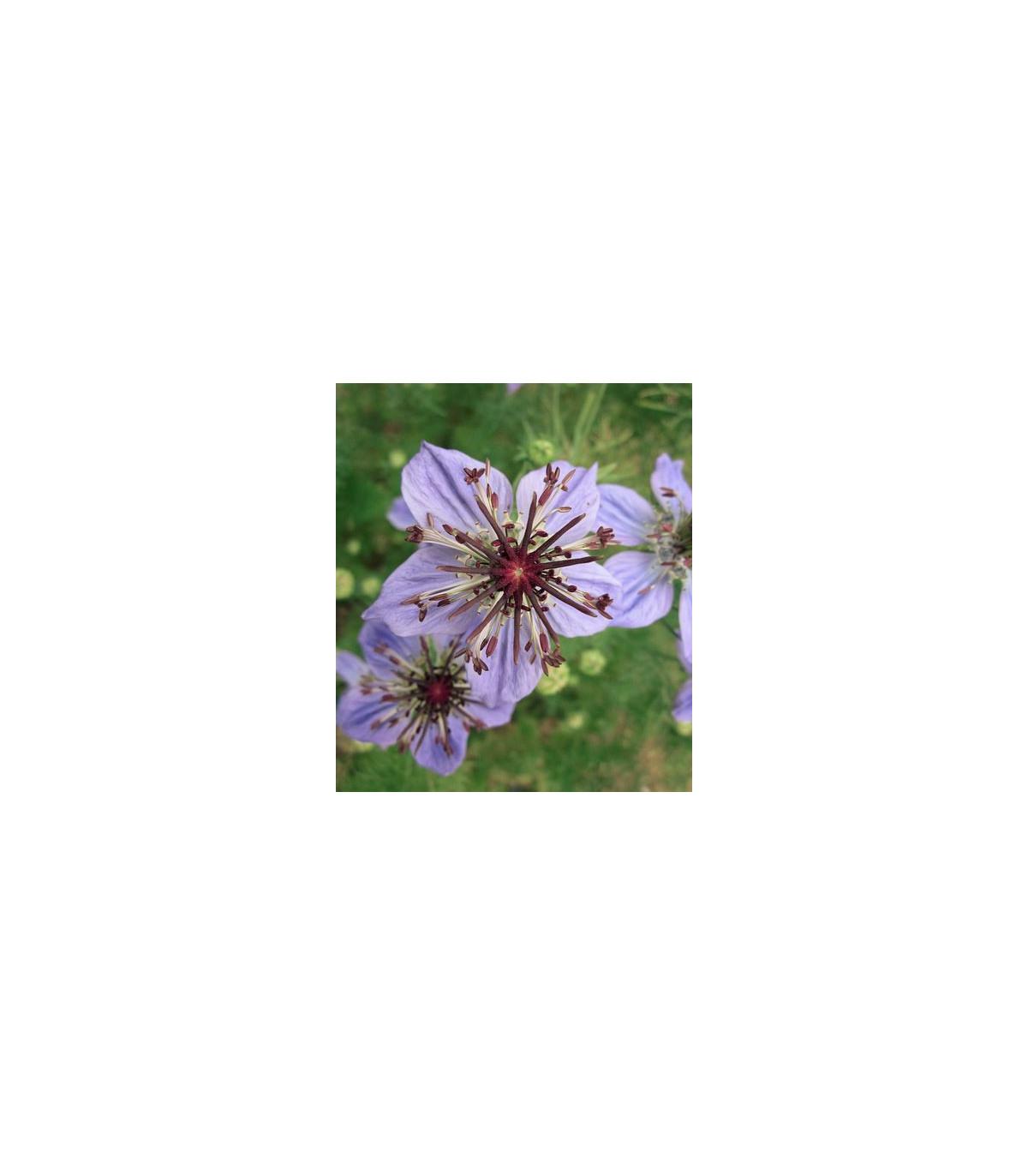 Černuška španielska - Nigella hispanica exotická - predaj semien - 0,1 g