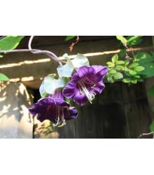 Kobea ťahavá fialová - Cobaea scandens - semená - 7 ks