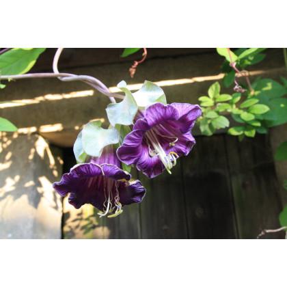 Kobea ťahavá fialová - Cobaea scandens - semená kúpiť - 0,5 gr